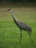 Portrait of a Sandhill Crane Strutting Through a Grassy Field