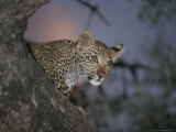 Young Leopard Rests in a Tree