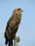 Tawny Eagle Sits Atop a Tree Limb