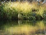 Sunbeams Light a Clump of Wild Grass Along the Water's Edge
