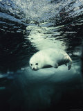 Harp Seal Pup Swimming Underwater