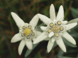 Close View of an Edelweiss Flower
