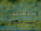 Crocodile Lurks Beneath the Water's Surface Near Four Ducks