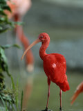 Scarlet Ibis Perches on a Rock