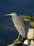 Tricolored Heron Perches on a Rock Overlooking the Water