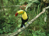 Toucan Sits on a Tree Limb in the Belize Zoo