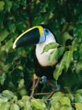 Colorful Cuviers Toucan Sitting in a Fig Tree