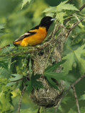 Baltimore Oriole Nesting in Wild