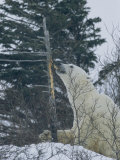 Polar Bear Eats the Bark Off of a Tree in a Snowy Landscape