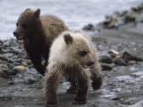 Pair of Grizzly Bear Cubs Run From Wolves As Mother Pursues a Moose