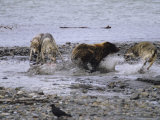 Pack of Gray Wolves Defend Their Moose Kill From a Brown Grizzly