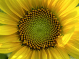 Close-up of a Sunflower at the Sunflower Blossom Center in Asheville