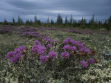 Beautiful Field of Lapland Rosebay