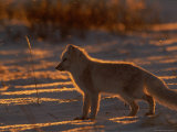 Backlit View of a White Arctic Fox