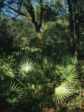 Sunlit Palmettos in a Woodland