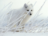 Arctic Fox Conceals Itself in Rye Grass Covered with Hoar Frost