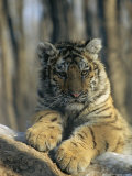 Abandoned As a Cub  the Siberian Tiger  Globus  Now a Graceful Adult