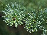 Subalpine Fir Trees Growing in a Starburst Pattern