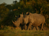 Pair of White Rhinoceroses Strolling at Twilight