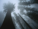 Skyward View of Giant Sequoia Trees in the Fog