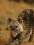 Spotted Hyena Stretching and Yawning