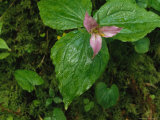 Close View of a Blooming Trillium