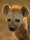 Close View of the Face of a Young Spotted Hyena in Afternoon Light