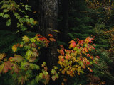 Vine Maple Leaves Displaying Bright Autumn Colors