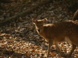 Young Sika Deer Standing Near Its Mother