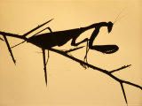 Praying Mantis Silhouetted  Lake Malawi  Africa