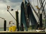 Gulls Alighting on a Dock Next To Hanging Fishing Nets