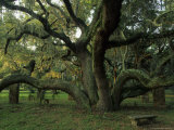 Old Live Oak Draped with Spanish Moss