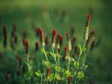 Sunlit Blooming Crimson Clover