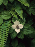 Bunchberry Flower Framed by Ferns