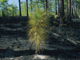 New Pine Tree Grows From Scorched Earth After a Fire