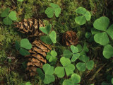 Pine Cones Scattered Among Wood Sorrel and Mosses