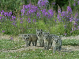 Curious Arctic Fox Pups Approach the Photographer