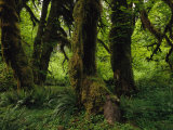 Moss Covered Trees in a Lush Green Rain Forest Setting
