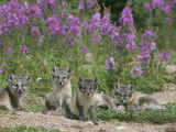 This Den Near Churchill Had 13 Arctic Fox Pups