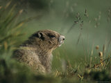 Groundhog Sitting in a Grassy Setting