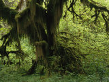 Moss Covered Tree in a Lush Green Rain Forest Setting