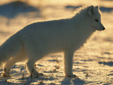 Portrait of an Arctic Fox Near Hudson Bay  Canada