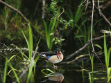 Wood Duck Reflected in Creek Water