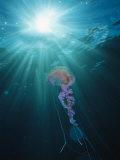 Pelagia Noctiluca Jellyfish Swimming in Sunlit Water