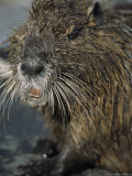 Close View of the Face of a Wet Nutria