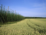 Barley and Hop Fields Grown For Beer