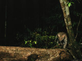 Ocelot Walking Along a Fallen Tree in a Forest