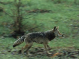 Coyote Running in Yosemite National Park