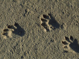 Raccoon Tracks on Newly Dredged Mud of Wetlands Restoration Project