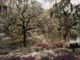 Azalea's and Spanish Moss Decorate Middleton Gardens